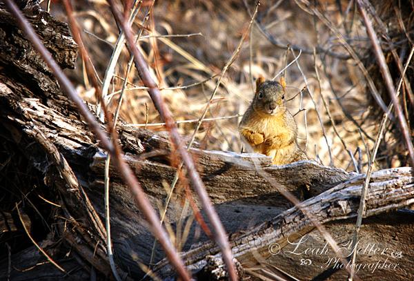 River Squirrel