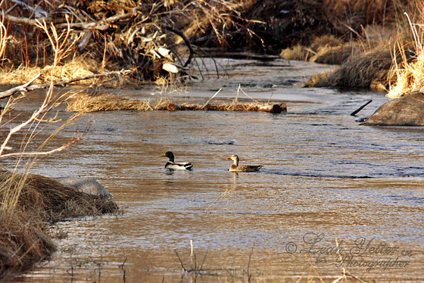 Ducks in the Laramie