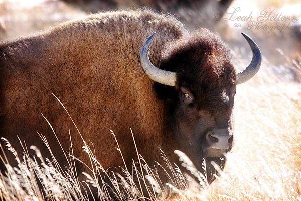 GF Buffalo 1
