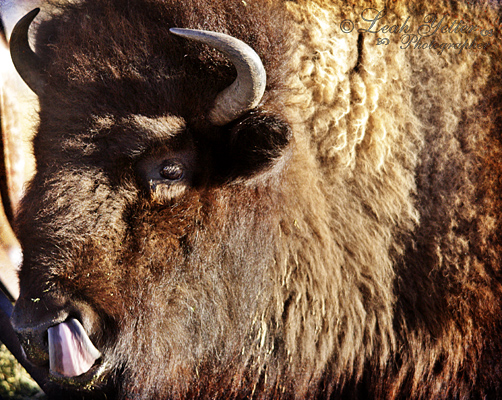 GF Buffalo 3