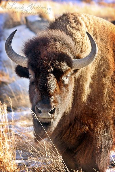 GF Buffalo 2